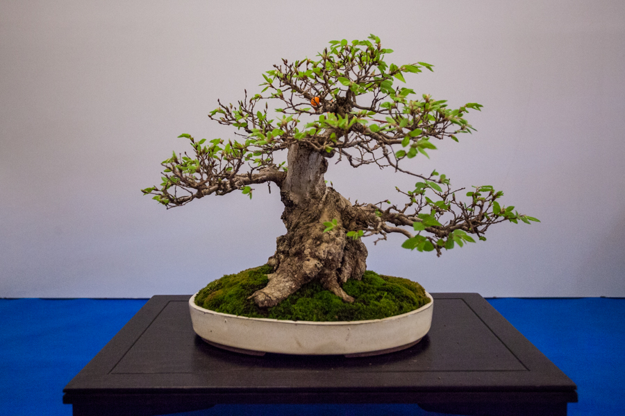 bonsai zamek książ