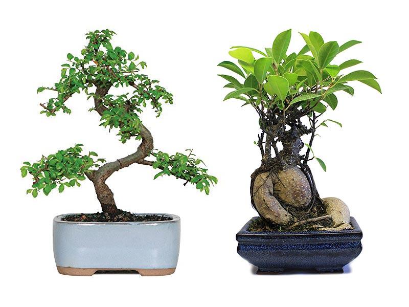 bonsai stanowisko